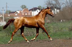Budyonny -  - equestrian.ru