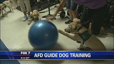 AFD train with guide dog puppies - http://austin.citylocalbuzz.com/afd-train-with-guide-dog-puppies/