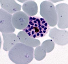 Schizont, P. vivax. Point is, these have the most merozites/schizont (>13 usually).  Also, vivax has enlarged RBC and Schiffner dots.