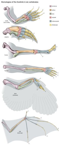 Homologies of the forelimb among vertebrates, giving evidence for evolution. The bones correspond, although they are adapted to the specific mode of life of the animal. (Some anatomists interpret the digits in the bird's wing as being and rather than and Ap Biology, Science Biology, Teaching Biology, Marine Biology, Science Education, Life Science, Science And Nature, Forensic Science, Higher Education