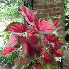 A colorful and dependable caladium, 'Florida Sweetheart' thrives in a wide variety of conditions and makes a bold statement in shady areas. Its vibrant leaves feature rosy pink and green shades and slight ruffling. Compact and easy to grow, 'Florida Sweetheart' thrives in containers and makes an excellent companion for full-sized caladiums planted in the garden. Gender: unisex.