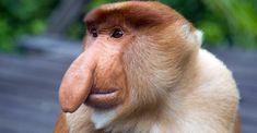 Proboscis monkey – long-nosed monkey
