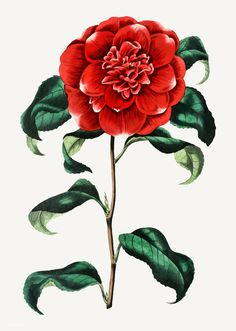 japonica reevesiana, Mr Reeves's Crimson Camellia - high resolution image from old book. Floral Illustrations, Botanical Illustration, Flower Branch, Flower Art, Photo Frame Wallpaper, Pink Glitter Background, Red Lily, Plant Drawing, Big Flowers