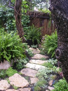 I built this rock path in the wooded area of my garden in 2005 under a dense live oak tree canopy.  The Kimberly Queen ferns are hardy in this area. Groundcover includes lamium 'White Nancy' and creeping thyme.  I like the round knot ring on the right hand live oak tree trunk.