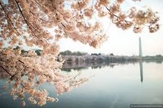 Image result for cherry blossom