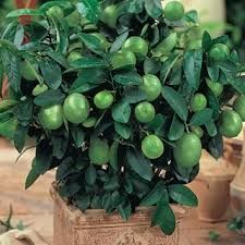 Citrus, Lime Dwarf $5 Dwarf Lime trees grow to about two feet in height and produce full-size, bright green juicy limes. They have a delicious, tangy taste. Use in key-lime pies and in cold drinks. Miniature trees add color and fragrance to your home.
