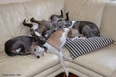 a typical Whippet Pile