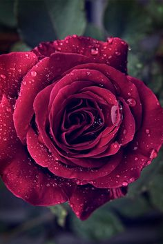 Beautiful red rose with raindrops