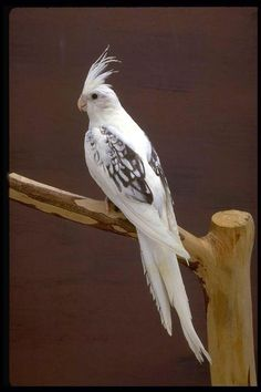 White cockatiel.