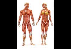 Tecido muscular - Esse tecido é formado por células alongadas e especializadas em contração (proteínas contráteis: miosina e actina); apresentam grande inervação e vascularização.