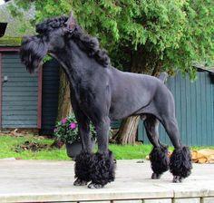 Giant Schnauzer My Little Pony