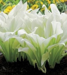 White Feather Hosta.
