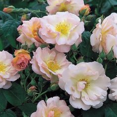 Penelope the perfect hardy rose!