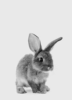The Little Bunny Poster in the Posters / Insects and Animals group at Desenio AB . - The Little Bunny Poster in the Posters / Insects and Animals group at Desenio AB - Grey Bunny, Cute Bunny, Rabbit Art, Pet Rabbit, Desenio Posters, Lapin Art, Baby Animal Drawings, Easter Drawings, Bunny Art