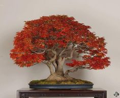 maple_bonsai_1_20121119_1626667491