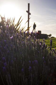 Claire Laminen Photography Lavender at Grant Park, Ventura, California