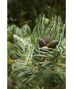 Japanese White Pine (Pinus parviflora 'Glauca') - Monrovia - Japanese White Pine (Pinus parviflora 'Glauca')