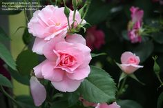PlantFiles Pictures: Shrub Rose 'Lambert Closse' (Rosa) by AnthonyP Shrub Roses, Beautiful Roses, Shrubs, Perennials, Images, Gardening, Plants, Pictures, Flowers