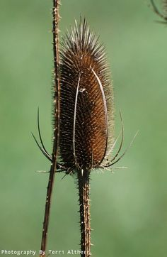 Thistle dried