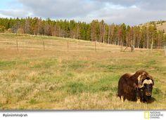 Yukon Doğal Yaşamı Koruma Alanı'nda bir misk sığırı.