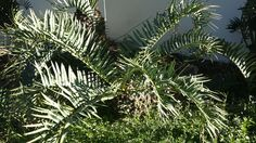 Encephalartos Trispinoses: Green Trispinoses and very hard to get hold of.