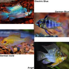 German Blue Ram Cichlid Love These I Am Planning On