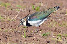 Abibe - Lapwing - Vanellus vanellus