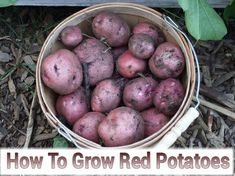How To Grow Red Potatoes #gardening