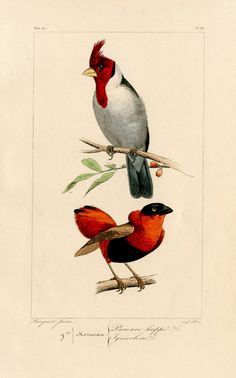 Lemaire Exotic Birds 1836