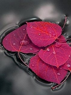 in Water The beauty of leaves.I love autumn colors. MoreThe beauty of leaves.I love autumn colors. Belle Photo, Autumn Leaves, Red Leaves, Beautiful World, Simply Beautiful, Beautiful Images, Color Splash, Red Colour, Black Splash