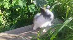 Cucciolo coniglio ariete nano blu di vienna pezzato - allevamento amatoriale coniglio nano in sicilia