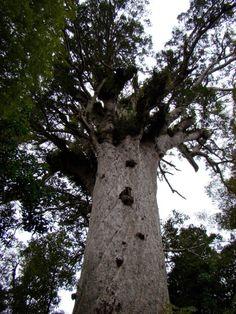 Tane Mahuta Track - Waipoua Forest