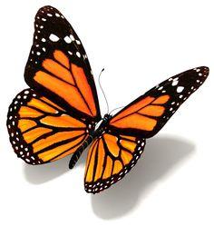 Butterfly pattern Monarch Butterfly Tattoo, Morpho Butterfly, Butterfly Drawing, Butterfly Tattoo Designs, Butterfly Painting, Blue Butterfly, Butterfly Images, Realistic Butterfly Tattoo, Blue Morpho