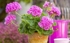 Geduld wird mit Blütenpracht belohnt! Bis aus Stecklingen kräftige, wohl-geformte Kübelpflanzen herangewachsen sind, dauert es oft drei bis vier Jahre