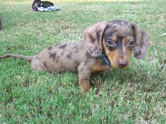 Dachshund Puppy <3   Www.peachstateofmindleh.blogspot.com