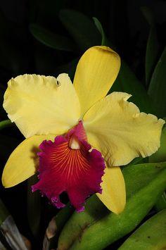 Orchid-Hybrid: Rhyncholaeliocattleya 'Alma Kee' - Flickr - Photo Sharing!