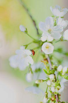 ladybug on white blossoms