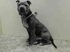 URGENT - Brooklyn Center   MAYOR - A0995530   MALE, GRAY / WHITE, PIT BULL MIX, 3 yrs  STRAY - STRAY WAIT, NO HOLD Reason STRAY   Intake condition NONE Intake Date 04/02/2014, From NY 11216, DueOut Date 04/05/2014 https://www.facebook.com/Urgentdeathrowdogs/photos_stream