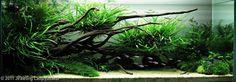 Bilde fra http://showcase.aquatic-gardeners.org/2011/Big/576.jpg.