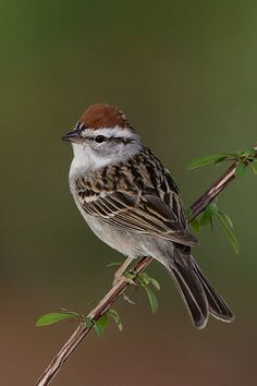Chipping Sparrow  One of the cutest, sweetest sparrows you'll ever see:)