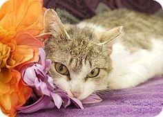 Kensington, CT - Domestic Shorthair. Meet Leah a Cat for Adoption.