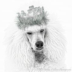 White standard poodle wearing St. Patrick's Day crown sketched