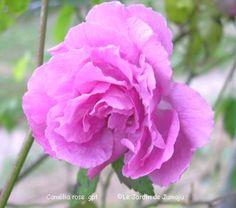 """"""" Camélia Rose """" - China/Bengale, Noisette rose - Rose-pink - Nicolas-Joseph Prévost fils (France), 1830"""