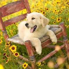 Golden Retriever puppy dog laying on a rustic chair in a field of wild flowers. Chien Golden Retriever, Golden Retrievers, Cute Puppies, Cute Dogs, Dogs And Puppies, Doggies, 15 Dogs, Baby Dogs, Pets