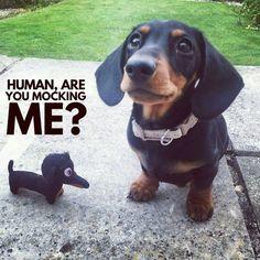 That little toy is so cute! #WienerDog #AreYouMockingMe #DoxieMom