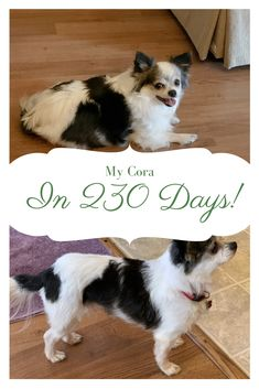 Help your overweight Chihuahua lose weight! I did (while unable to walk her because of injury!) and you can too! #chihuahuacare, #chihuahuapuppies, #seniorchihuahua, #chihuahuadogs, #chihuahuamix, #chihuahuafacts, #chihuahuaarticles, #chihuahuahelp, #chiwawa, #chihuahuahealthissues, #chihuahuaproblems, #chihuahuawebsite, #chihuahuabehaviorissues #chi, #chihuahuastory, #littledogs, #tinydogs, #minidogs Dog Food Delivery, Meal Delivery Service, Chihuahua Facts, Canned Dog Food, Low Fat Diets, Homemade Dog Food, Chihuahuas, Nutrition Tips, Little Dogs