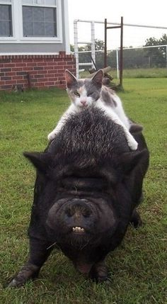 Kitten getting a ride on pot belly pig
