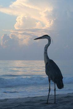 Blue Heron at the beach