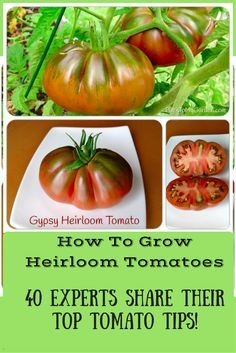 How To Grow Heirloom Tomatoes - tons of tomato growing advice from some expert gardeners!