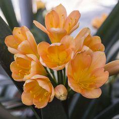 Colorado Clivia's plant number 2108.  Clivia miniata, Colorado Peach x Easy Bloom Yellow.